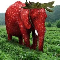 Elefante nascosto in un campo di fragole