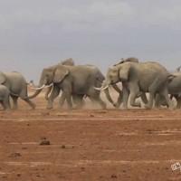 Mandria di elefanti impazzita